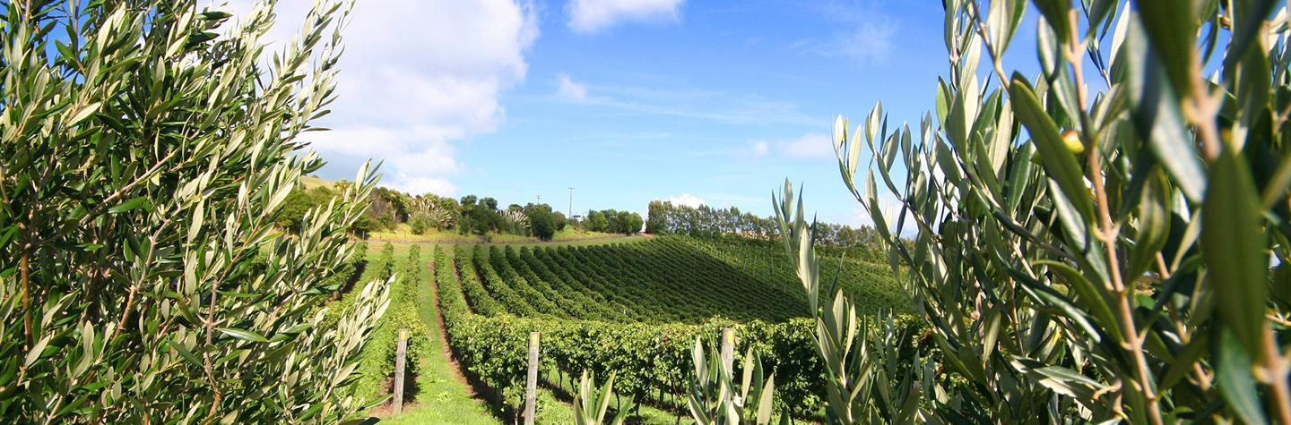 Waiheke Island vineyard Rental Cars